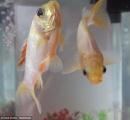 【画像】40年以上生きている化物金魚が話題に