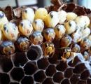 ハチに千回以上刺され男性死亡 米公園