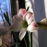 『病気快癒・アマリリス開花』の画像