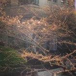 『桜』の画像