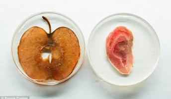 人間の細胞を移植してりんごから耳を作る科学者。これ食べらるのかな?
