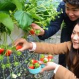 『京都)真っ赤なイチゴ実る 精華町の観光農園にぎわう』の画像