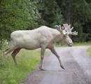 スウェーデンで白いヘラジカ撮影、見物客殺到 「近付くと危険」