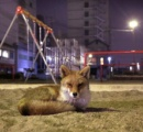 姫路駅前にキツネが住み着く
