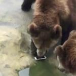【動画】中国、動物園のヒグマに餌を投げようとして間違ってiPhoneを投げてしまう! [海外]