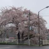 『わが家の桜10 11』の画像