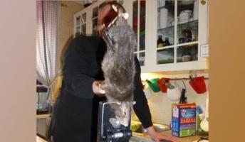 突然変異の猫の大きさ巨大ネズミ 驚くべき速さで繁殖  今後体重60キロクラスも