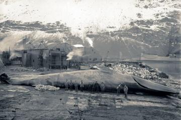 昔はアメリカも捕鯨していたという事実・・・