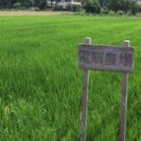 『稲がこんなに成長しました!』の画像