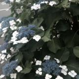 紫陽花のサムネイル