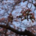 2014家の前の桜を撮ってみた