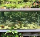 自宅の庭に池作って淡水魚飼いたい