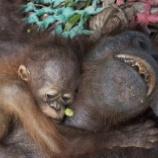 『森林火災で瀕死のオランウータンたち続報2』の画像