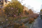 傍示川や機物神社!交野市内でちょいちょいと桜が開花してるみたい!