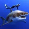 体長6メートルの巨大ホホジロザメと一緒に泳ぐダイバー