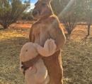 【画像】 ウサギのぬいぐるみを手放さないカンガルー 取り上げようとすると強烈な蹴りが入る