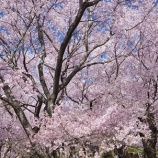 『再び桜へ』の画像