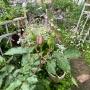 *4月半ば小庭の様子~夏みかんの花や草花の勢い~