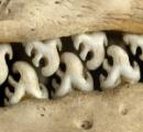 【悲報】アザラシの歯、キモすぎる