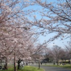 『近場でお花見散歩』の画像