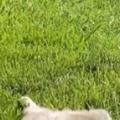 【ネコ】 今日は天気が良くてあったかい。ポカポカにゃ♪ → 猫は芝生でこうなった…