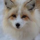 『夕涼みとねぐら。そして鷺と羊と、そして狐。』の画像