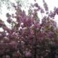 やっと桜を見ました