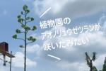 大阪市立大学附属植物園のアオノリュウゼツランが7/16に開花したみたい!でも実はその前から開花していた!?