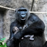 『「好雪片片 不落別処」亡くなった子供を抱き続けるゴリラのお母さんたち』の画像