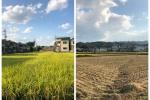 例年よりちょい早い?交野市内で稲刈りが始まってる!〜こっちはバリカンで刈られたみたいに、あっちはまだこれから〜