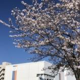 『桜があまりに綺麗だったのでパチリ』の画像