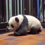 『上野のパンダと和歌山のパンダ』の画像