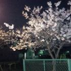 『夏だけど・・・、4月の夜桜』の画像