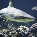 【悲報】海の王者ホオジロザメ、シャチに肝臓だけ食われて捨てられる・・・・・。