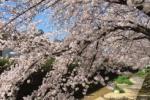 交野の桜は綺麗だ!『みんなの桜写真』①~交野シェアの桜写真投稿~