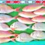 沖はテンヤでネイリ、オオモンハタ、マダイ、イトヨリ!湾内はハイカラで45cm良型キビレ!