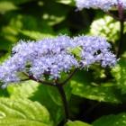 『山紫陽花』の画像