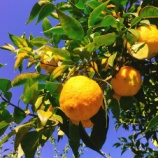 『これ上之保のお坊さん?いやいや柚子です!無農薬栽培の上之保ゆずでクラウドファンディングですって!(岐阜県関市上之保・かみのほゆず)』の画像