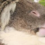 『コアラの母子』の画像
