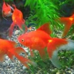 【またゆとりかよ!】ファミマのトイレに金魚が泳いでいた件www