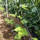 インゲン豆 活着し蔓が伸びてきた。