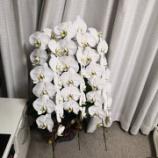 『胡蝶蘭の手入れ方法』の画像