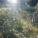 バジル・オクラ採種、ラッカセイ掘り&稲架(はさ)準備👌