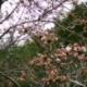 4/1現在の桜情報です