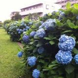『戸田公園駅北東側・まんようの花の道では紫陽花が盛りを迎えています』の画像