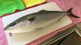 【うまそう】海で良い魚が釣れたから捌くよー(※画像あり)