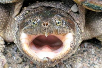 カミツキガメの噛む力は実はそんなに強くない(ワニガメはヤバイよ) カミツキガメについて
