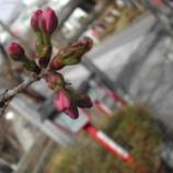 『桜のつぼみ』の画像