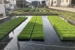 交野市、田植えがスタートしてる!〜田んぼには稲の小さいのが植えられてたり〜