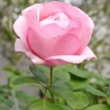 『庭のバラたち! 小さなローズガーデンは癒しの空間!!』の画像